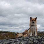 islandshund_illustrasjon